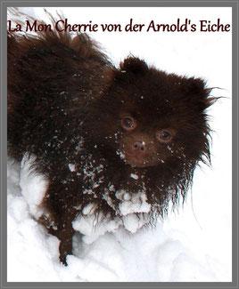 Pomeranian Hündin La Mon Cherrie von der Arnold's Eiche.