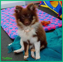 Pomeranian Hündin Miss Toffiffee von der Arnold's Eiche.