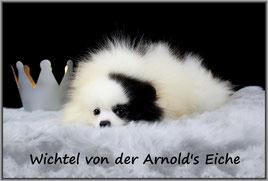 Zwergspitz Rüde Wichtel von der Arnold's Eiche.