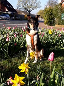 Blade sitzt in zwischen Tulpen und Osterglocken auf einem Rasenstück