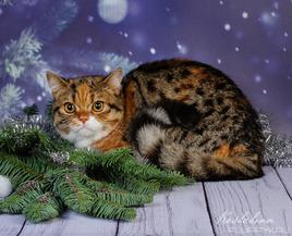 Кошка шотландская скоттиш страйт, окрас Черный черепаховый пятнистый с белым ( f 24 03)