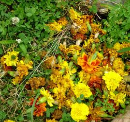 摘まれたお花たち。気がつかれたら、皆さんもご協力ください。