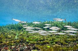 淡水ダイビング 若鮎の群れ