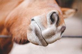 Ergänzungsfutter für Pferde: BetaHORSE