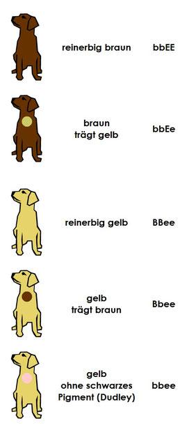 Farbe braun gelb Labrador Retriever Labradorzucht vom Fürstenbergmaar Köln