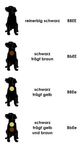 Farbe schearz Labrador Retriever Labradorzucht vom Fürstenbergmaar Köln