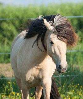 Islandpferdezucht, coaching mit Pferden, Wir verkaufen Islandpferde uas reinrassiger Zucht in Bayern, München