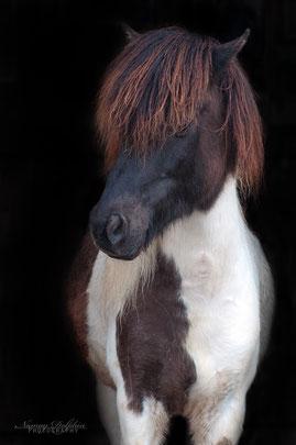 Genja vom Idablick/ Islandpferde Elvenholt/ München/Therapie mit Pferden, Zucht, Islandpferdehof