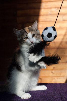 Kitten, Norwegische Waldkatzen zu verkauf, Sokie liebt es Dinge zu fangen