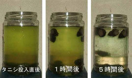 タニシ 水をキレイにする プランクトン 浄化 水槽 田んぼ