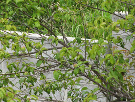 季節は梅雨間近。庭の梅の実もだいぶ大きくなってきました。