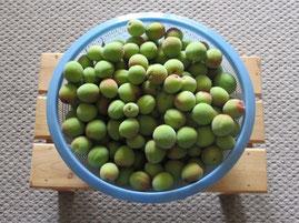 ②かごいっぱいの梅の実。今年の収穫3.5キロなり。