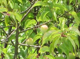 ①台風接近直前。収穫間近の庭の梅の実。