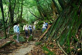 屋久島の苔の森はどこまでも続く(宮之浦岳縦走ガイドツアーにて)