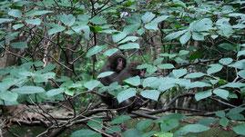 森で食べ物を探す、ヤクザル,西部林道ガイドツアー