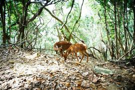 照葉樹の森で餌を探すヤクシカ(西部林道ガイドツアー)
