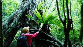 アコウの巨木に着生するオオタニワタリ,西部林道ガイドツアー