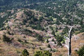 春(3月後半から4月前半)の太鼓岩からの山桜の絶景(白谷雲水峡・太鼓岩ガイドツアー)