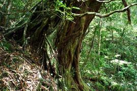 蛇之口滝に向かう途中にあるアコウの大木