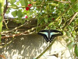 羽を広げているアオスジアゲハ蝶 炎と楽園のアート ちょっと一息