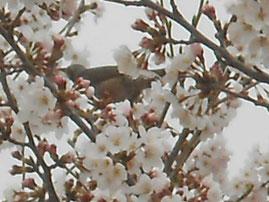 桜大好きヒヨドリ あおい夢工房 炎と楽園のアート
