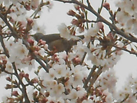 桜の蜜をいただくヒヨドリ🌸