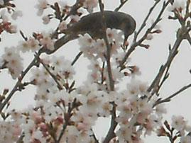 春のヒヨドリ あおい夢工房 炎と楽園のアート