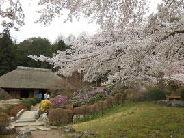 細川紙紙漉き家屋の桜幻想的でした。あおい夢工房 炎と楽園のアート