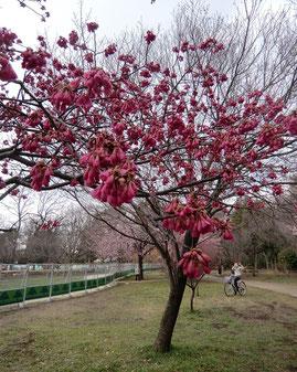 ●ジブリ美術館の東側、井の頭公園の西園では、寒緋桜(カンヒザクラ)が満開でした。寒緋桜は満開と言っても釣鐘状で半開、下向きに咲きます