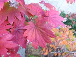 Acer shirasawanum (オオイタヤメイゲツ)