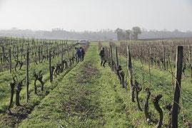 taille des vignes bio ugni blanc en région cognac bréville EARL J'Y CROIS