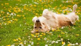 Un chien golden beige sur le dos se roule dans un jardin de fleurs jaunes et blanches par coach canin 16 éducation canine charente