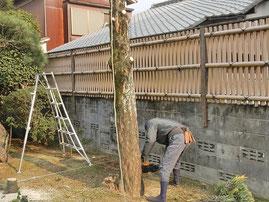 マキの木伐採