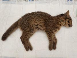 死亡したイリオモテヤマネコ。4日に発見された(環境省西表野生生物保護センター提供)