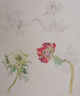 Anemones (Pencil drawing,Watercolor painting,dessin)