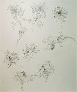 Anemones (Pencil drawing)