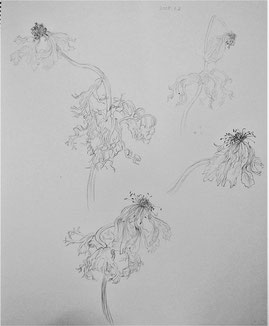 Wilted Anemones 萎れたアネモネ,   (Pencil drawing,dessin)