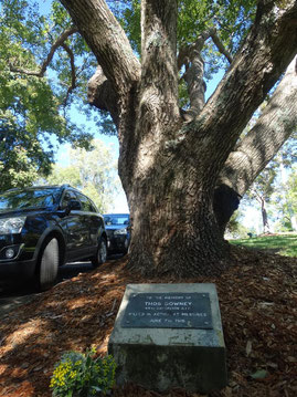 Downey memorial tree in Gridley Street Eumundi