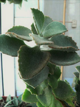 Kalanchoe beharensis 'Fang'
