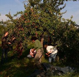 Helfer beim Einsammeln der Äpfel
