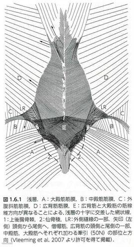 胸腰筋膜後葉の浅層