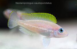 Neolamprologus caudopunctatus orange fin, Неолампрологус, Неолампрологус каудопунктатус