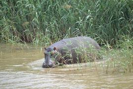 Südafrika, St. Lucia Wetlands Park, Hippos