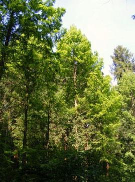 Urweltmammutbäume
