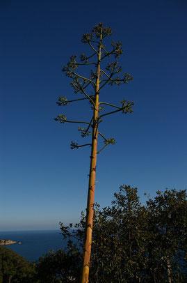 fleur d'agave sur la costa brava, espagne