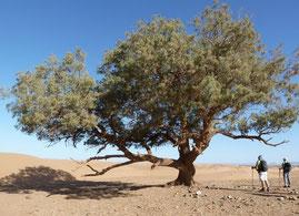Les plantes du désert marocain