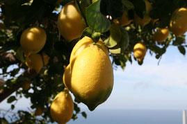 Zitronenbaum an der Amalfiküste