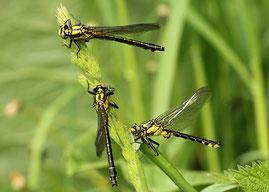 Jungtiere der Gemeinen Keiljungfer, Gomphus vulgatissimus: Ein Weibchen (oben) und zwei Männchen.