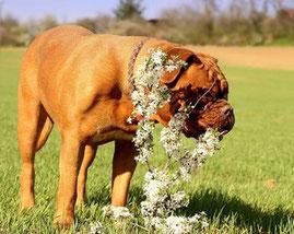 un dog de bordeaux fauve mange une plante par coach canin 16 éducateur canin en charente
