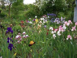 1. Wahl der Parentalgeneration - Die Vielfalt der Schwertlilien ist in den letzten Jahrzehnten exponentiell angestiegen. Es gibt unzählige Sorten und Formen - iriszucht.de
